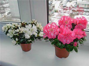 Комнатный цветок азалия