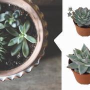 Суккуленты: что нужно знать о самых неприхотливых комнатных растениях
