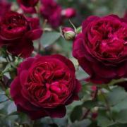 Как выбрать саженцы роз?