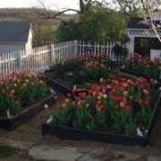 Что посадить после тюльпанов?