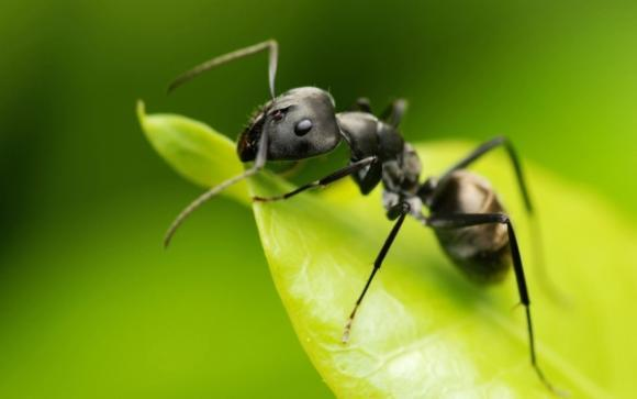В чем польза муравьиного масла?