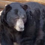 Медведь устроил себе берлогу в подвале жилого дома
